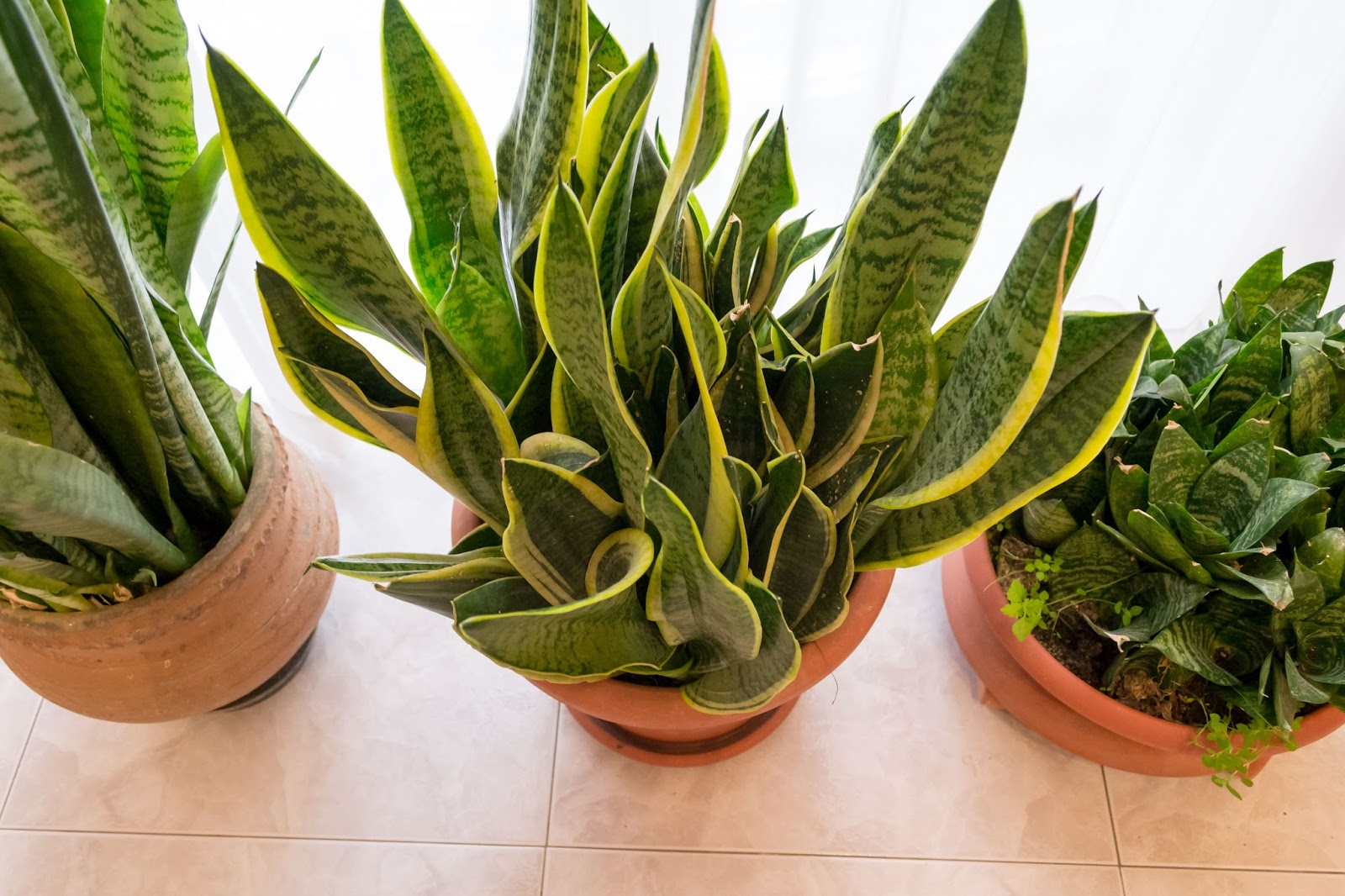 sanseveria plant